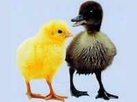 Chicks And Duckling