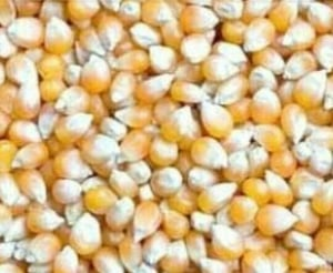 Quality Approved Yellow Maize