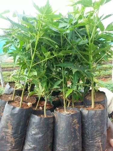 Malasiyan Neem Plant