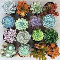Fancy Indoor Succulent Plants