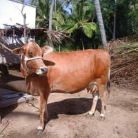 Pure Jersey Breed Cow