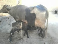 High Breed Murrah Buffalo
