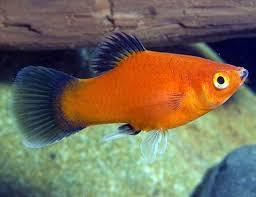 Aquarium Fish In Kolkata Aquarium Fish Dealers Traders In Kolkata West Bengal