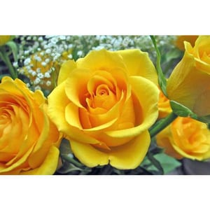 Best Quality Yellow Rose Flower