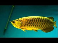 Asian Arowana Aquarium Fish