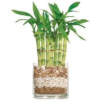 Low Price Lucky Bamboo