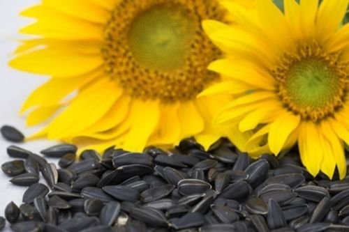 Black And White Striped Sunflower Seeds Oil