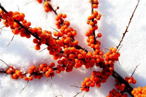 Seabuckthorn Seed Oil Cas No.: 225234-03-7