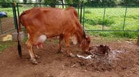 Pure Gir Adult Cow