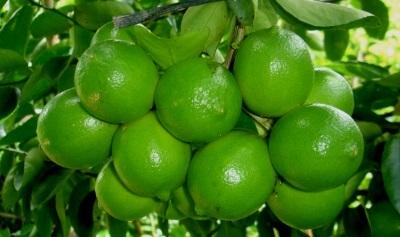 Natural Quality Fresh Seedless Lime/Lemon