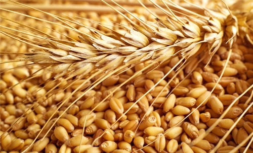 Golden Fresh Organic Wheat Seeds