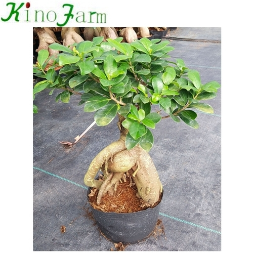 Natural Ficus Ginseng Plant
