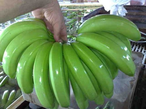 Pesticides Free Green Cavendish Banana