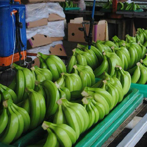 High Level Green Cavendish Banana
