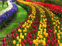 Kashmir Tulip Garden Tour Packages