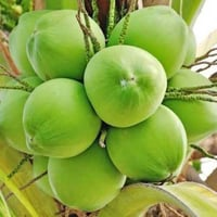 Fresh and Healthy Tender Coconut
