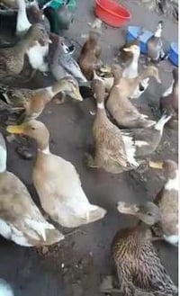 Live Duck For Farming