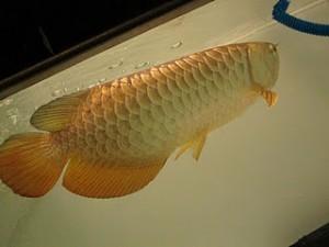 Aquarium Fresh Arowana Fish