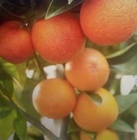 Fresh Juicy Orange Fruits
