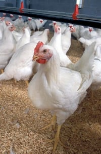 White Poultry Broiler Chicken