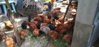 Country Chicken For Farming