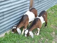 Brown And White Live Goats