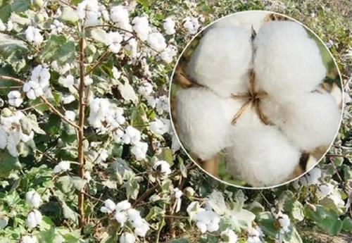 Soft Cotton Seeds