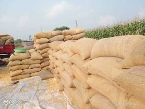 High In Protein Yellow Maize For Animal Feed