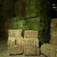 Top Quality Alfafa Hay for Horse Feed