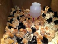 Poultry Farm Day Old Chicks