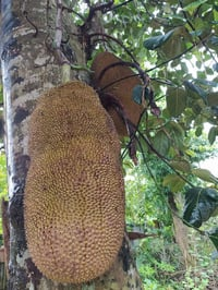 Juicy and Aromatic Green Jackfruit