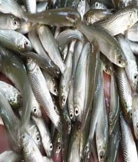 Rohu Fish Seeds For Farming