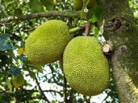 Fresh Green Jackfruit for Cooking