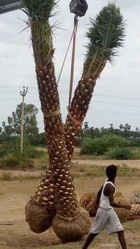 Fully Grown Up Palm Tree