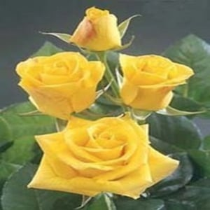 Natural and Fresh Sunking Yellow Rose