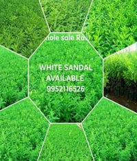 White Sandal Plant For Nursery