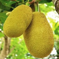 Organic Green Jackfruit for Cooking