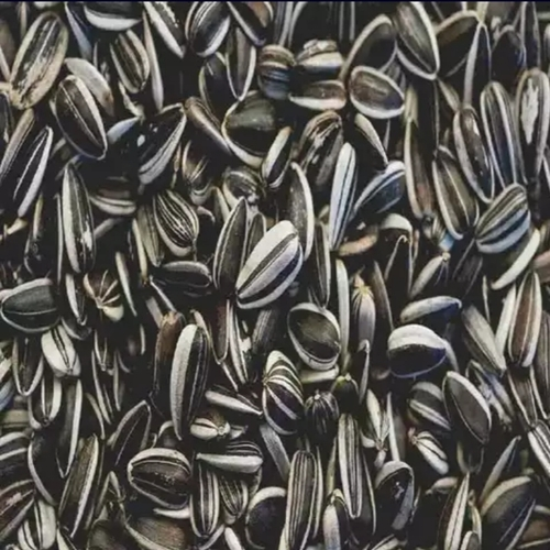 Sunflower Seeds for Making Oil