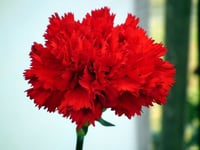 Natural and Fresh Carnation Flowers