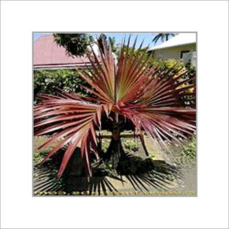 Green Latania Rubra Plant