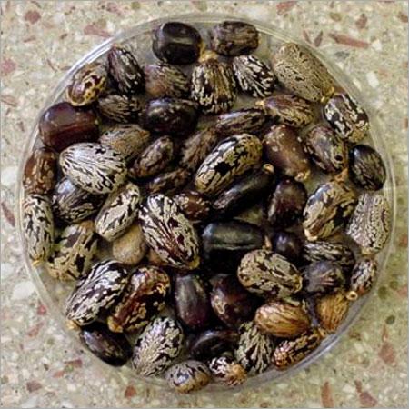 Organic Castor Bean Seeds