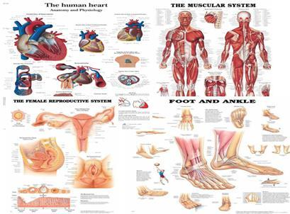 Human anatomy physiology charts in new delhi delhi nishtha human anatomy physiology charts publicscrutiny Images