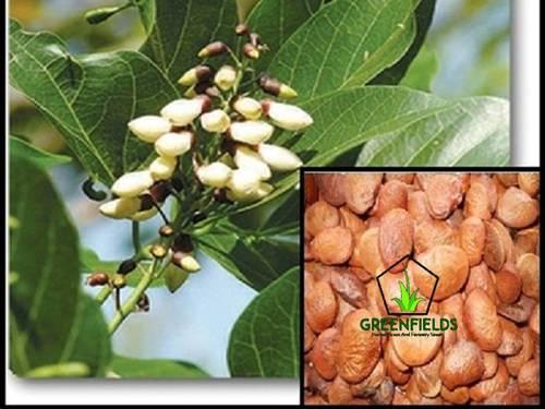 Karanj Tree Seeds (Pongamia Pinnata)