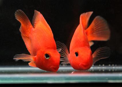 Aquarium Parrot Fish