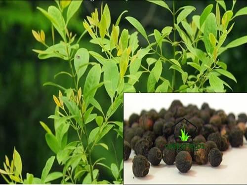Sandal Forestry Tree Seeds (Santalum Album)