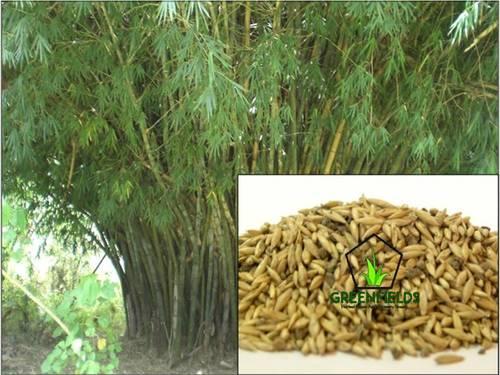Katanga Bamboo Tree Seeds (Bambusa Arundinacea)