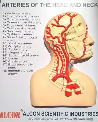 Arteries Of Head And Neck Anatomical Models