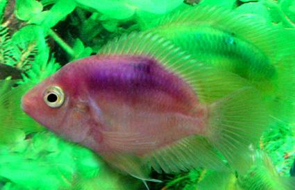 Aquarium Mix Color Parrot Fish