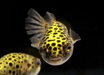 Ornamental Brackish Fish