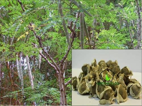 Moringa Tree Seeds (Moringa Oleifera)